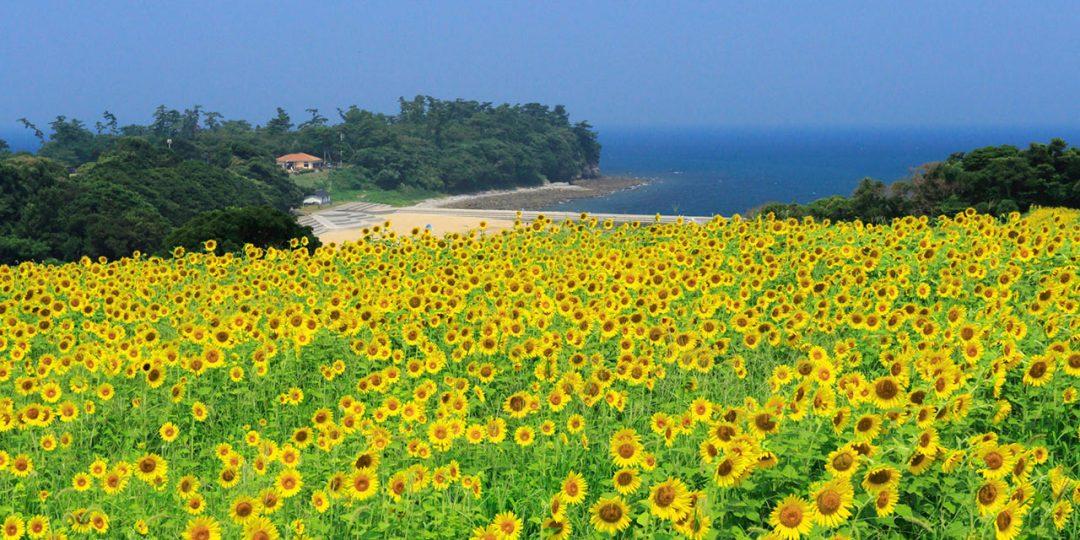 長崎鼻の菜の花