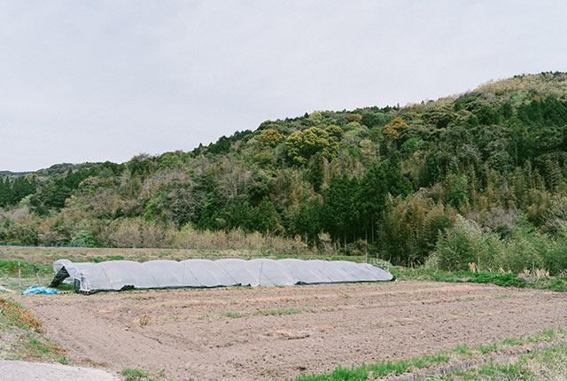 七島藺を育てている畑