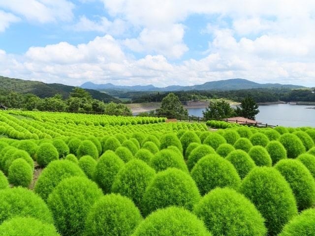グリーンのコキア畑