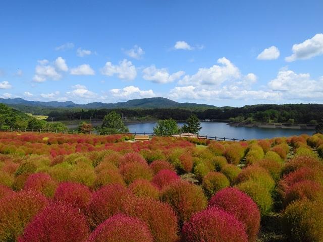 紅葉の途中、緑と赤が入り交じった色みのコキア畑