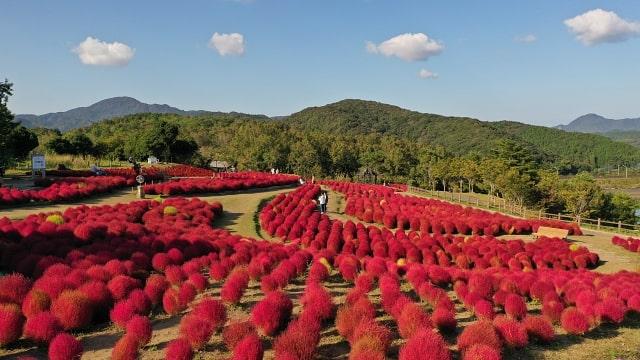 広範囲で撮影した赤いコキア畑