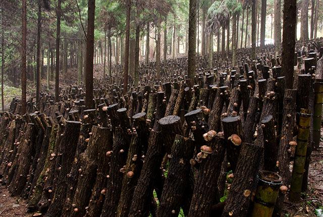 クヌギの原木が並んだほだ場